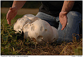Giant Puffball - Giant Puff-Ball with human