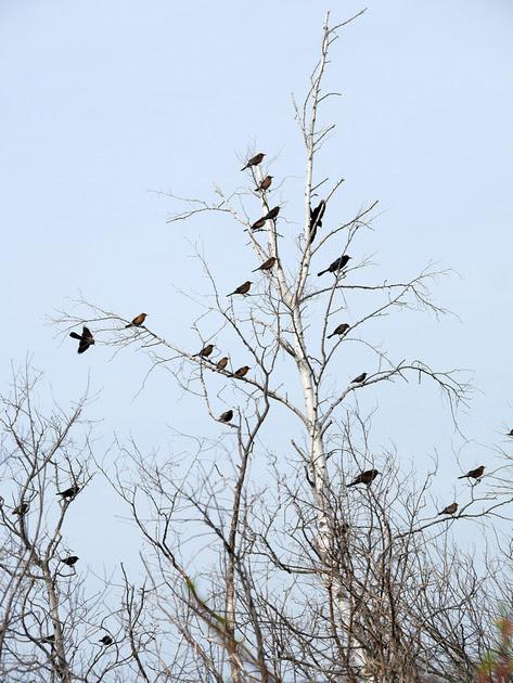 Ed Gaillard: birds &emdash; Boat-Tailed Grackles, Jamaica Bay