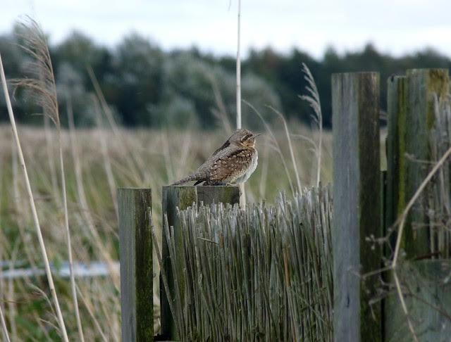 25062 - Wryneck, Newport Wetlands