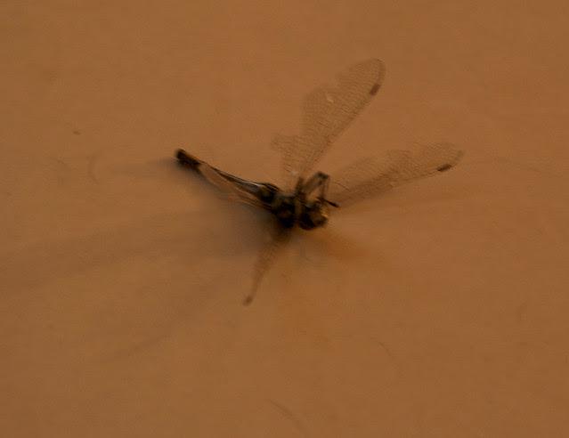 Dragonfly 02