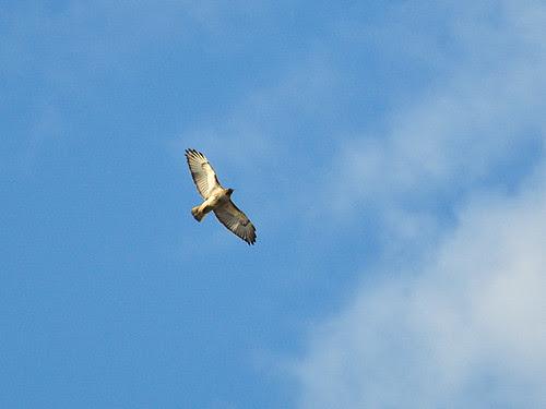 Hawk over MSD