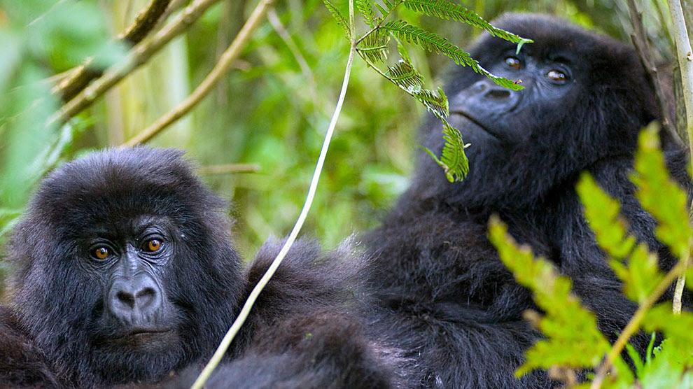 Es posible acercarse a un metro de los gorilas y sus familias.