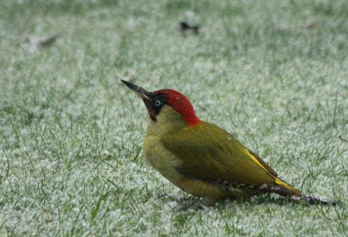 Green Woodpecker in the snow