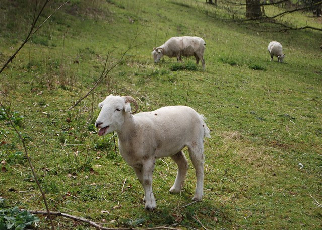 Friendly Wiltshire Horn sheep baahing at me as I steal his wool