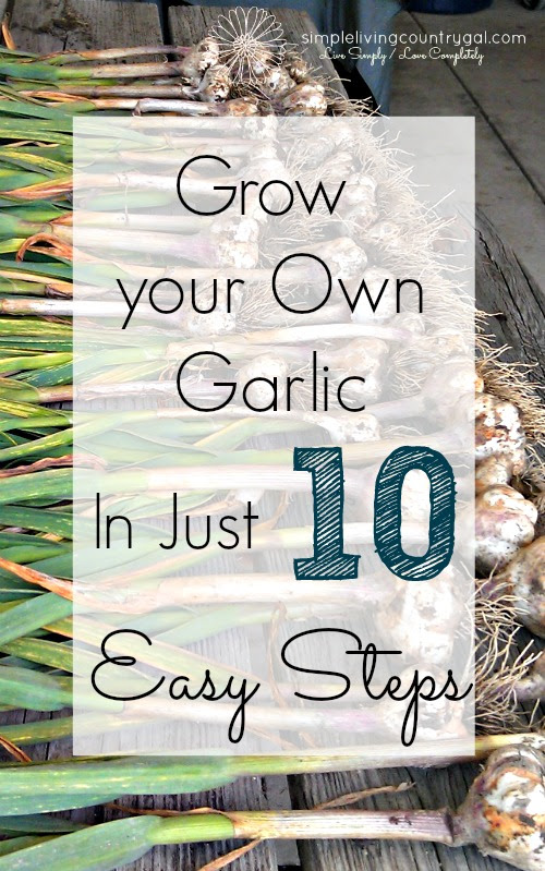 If you are new to gardening, this is the perfect way to start growing your own food. Garlic is super easy and very low maintenance, anyone can do it!