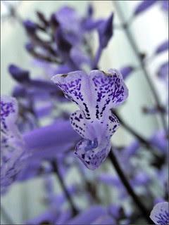 Salvia #2