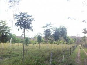 Árvores em torno de 4 metros em média. Algumas com 5 metros.