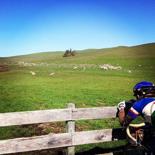 Baaaa with juliayn on the sfr two rock/valley ford 200k. #bike #randonneur #sheep #northencalihaslotsofsheepandcows