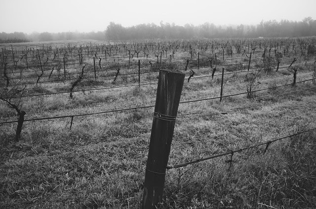 Foggy Vineyard 002