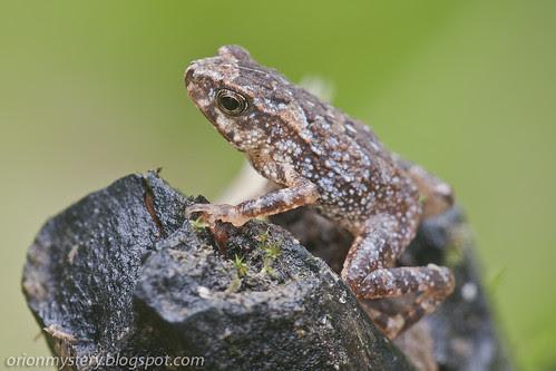 Cute little frog (<i>Ingerophrynus divergens</i>)IMG_6724 copy