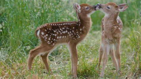 cute deer hd wallpaper wallpaperscom