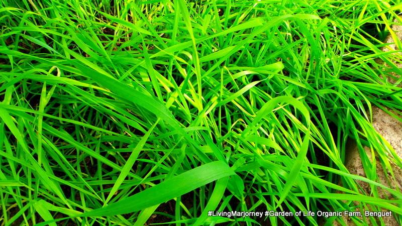Wheat Grass at Benguet: The Garden of Life Organic Farm