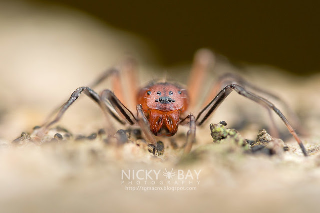 Ant-Like Sac Spider (Aetius sp.) - DSC_2244