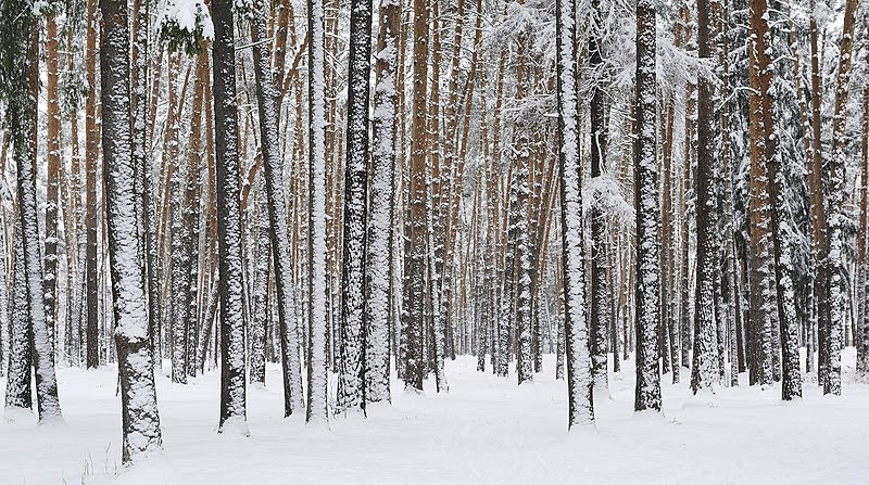 File:Russia. Moscow Region. Winter pine wood, lake Kratovskoe area.JPG