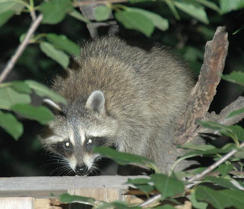 Flatbush Raccoon