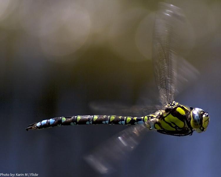 dragonfly που φέρουν