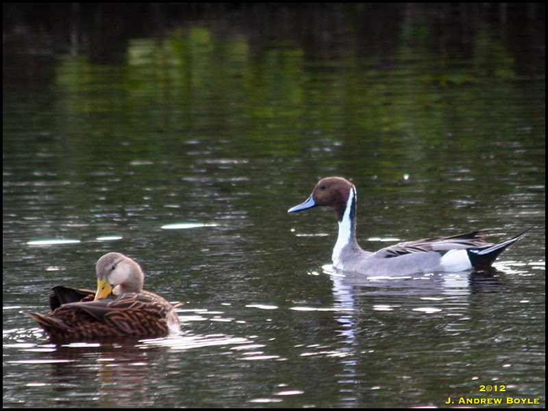 Northern Pintail and Mottled Duck