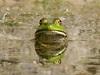 classic bullfrog stare