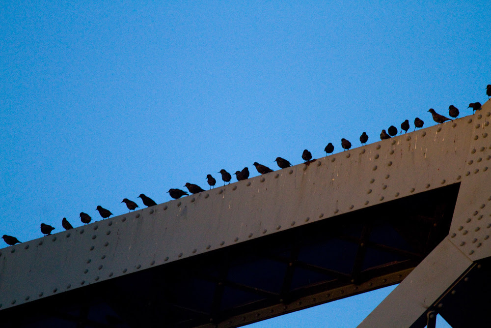 Broadway Starlings