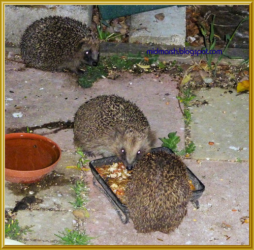 Snuffling Hedgehogs 5