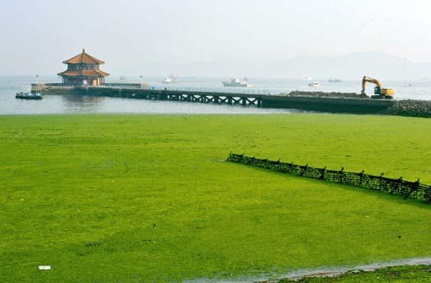«Θάλασσα» από πράσινο στις ακτές της Κίνας (2)