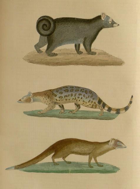 1 civette a bandeau (Viverra fasciata) 2 Paradoxure type (Paradoxurus typus) 3 Ichneumie albescente (Ichneumia albescens)