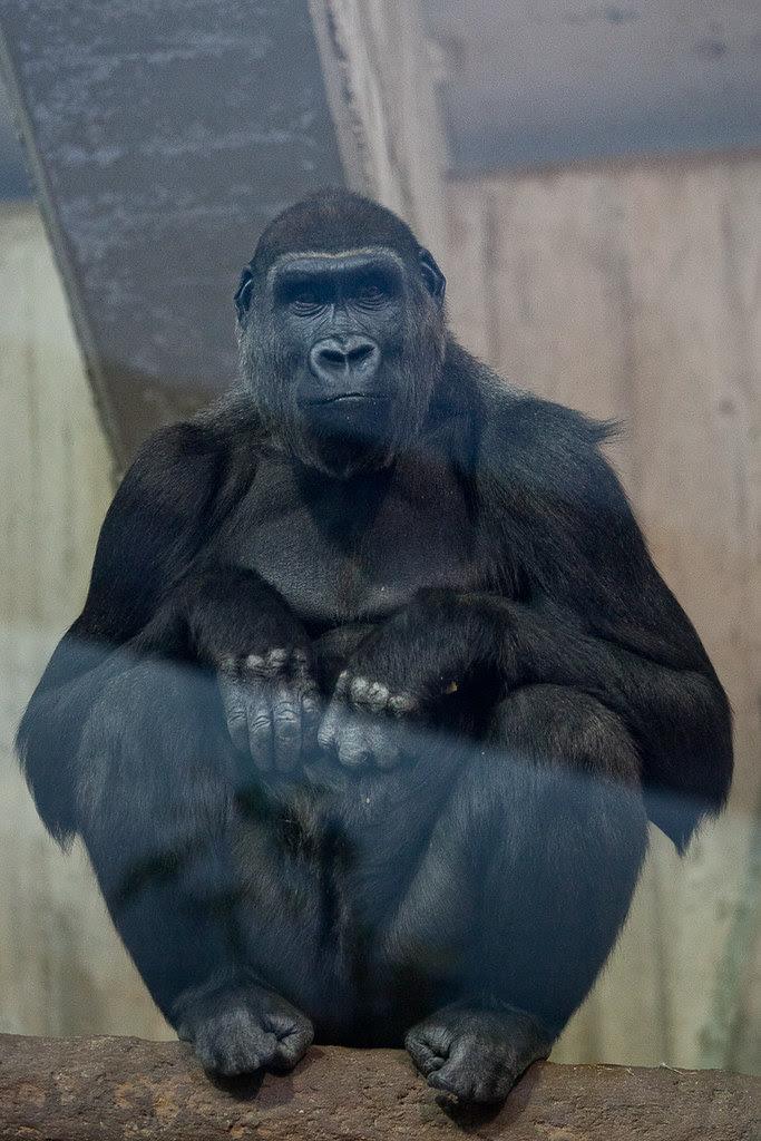 The Well Groomed Gorilla