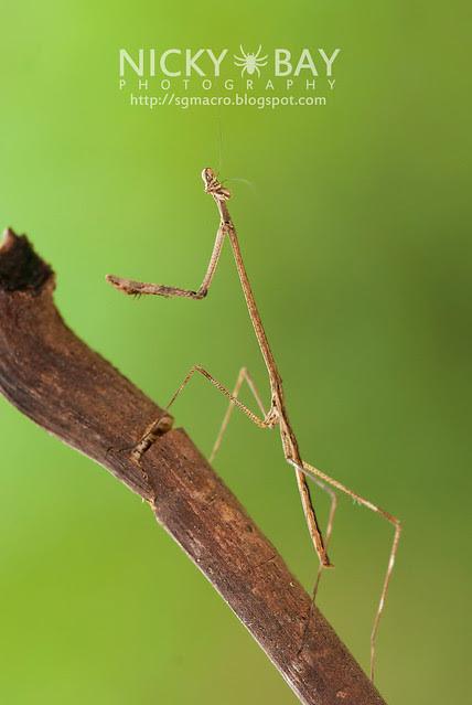 Stick Mantis? (Mantodea) - DSC_7042