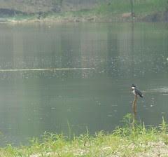 Kingfisher river armleder