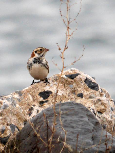 Ed Gaillard: birds &emdash; Lapland Longspur, Randalls Island