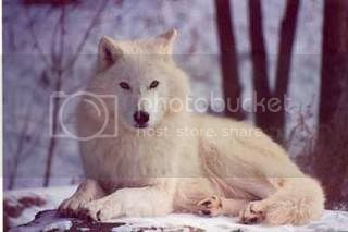 wolf Pictures, Images and Photos