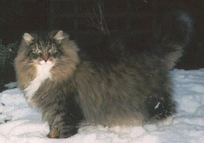 poze pisici Norvegiana de padure fotografii imagini bloguri romanesti faine interesante