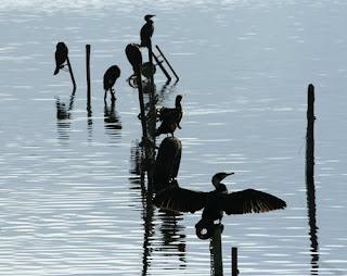 Un gruppo di cormorani posati su alcuni pali emergenti dall'acqua si asciuga dopo la pesca