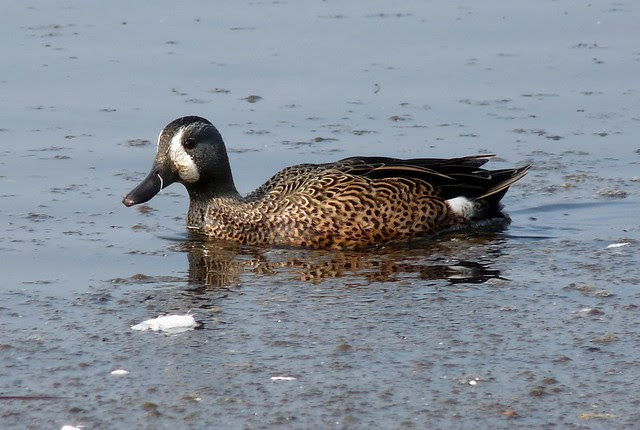 24074 - Blue Winged Teal, Sandy Water Park, Llanelli