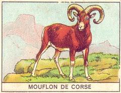 mart mouflon