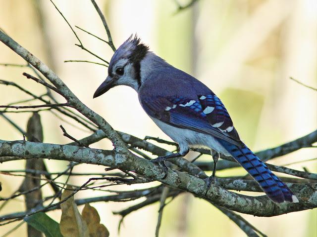 Blue Jay 20131117