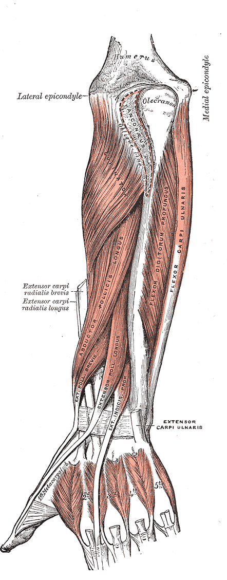 forearm extensors