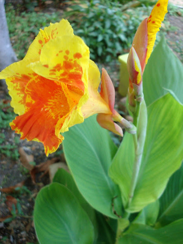 cannas_yelloworange_2ndbloom