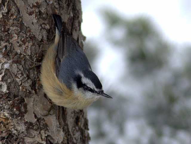 Red-breasted Nuthatch 20111114