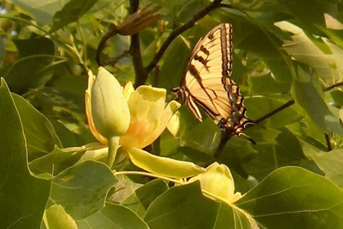 HPIM1831a-Butterfly in Tulip Tree