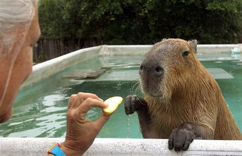 Capybara   Chicago Tribune