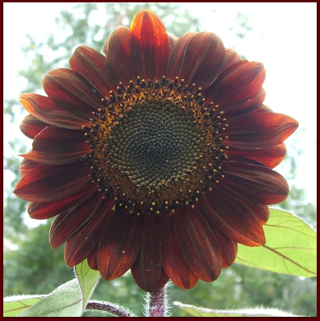 Prado Sunflowers by Angie Ouellette-Tower for godsgrowinggarden.com photo 013_zps7fdfcc1a.jpg