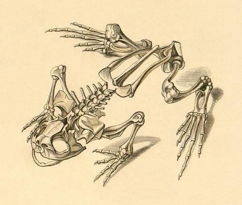 Frog skeleton a