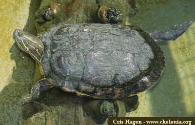 Laguna cabral o rinc n las hicoteas trachemys decorata for Lago tartarughe