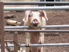 Piggy seeks friends...