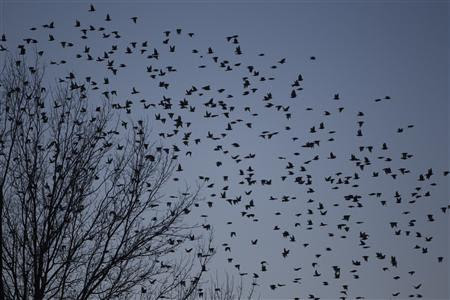 A flock of blackbirds search for trees to perch on in the town on Hopkinsville, Kentucky February 16, 2013. REUTERS-Harrison McClary