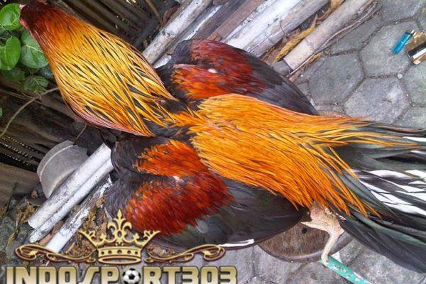 85 Gambar Ayam Wiring Kuning Terlihat Keren