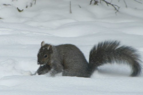 IMG_7000_Squirrel_in_Snow