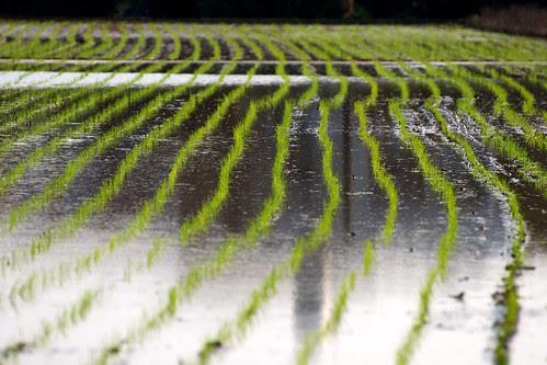 Rice Fields, Hsinwu