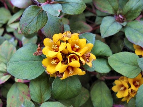 20100408-rq-jardimmunicipal-09-Lysimachia congestiflora